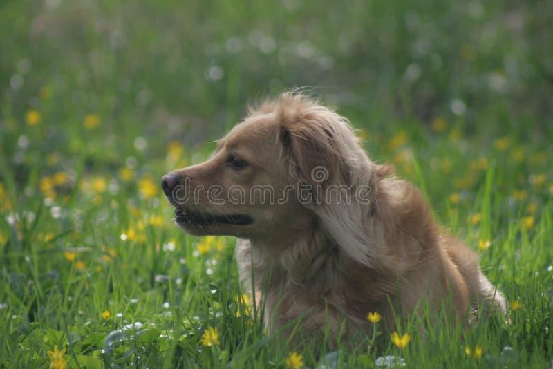 Cane dell'oro in parco polacco fotografia stock