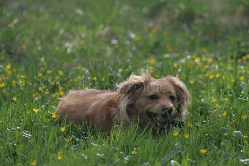 Cane dell'oro in parco polacco fotografia stock libera da diritti