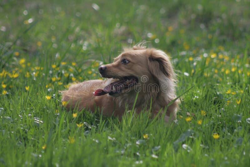 Cane dell'oro in parco polacco immagini stock