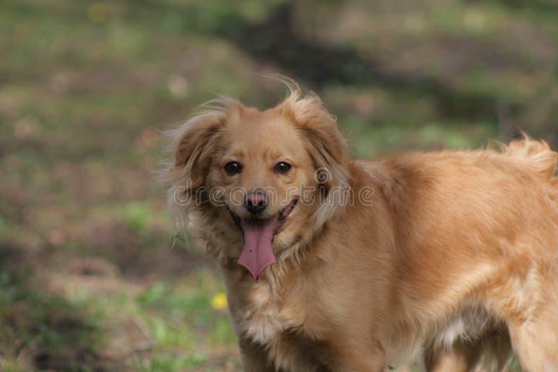 Cane dell'oro in parco polacco immagine stock