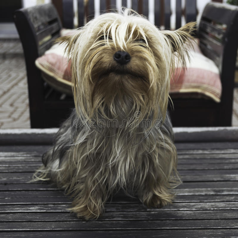 Cane dell'Yorkshire terrier fotografia stock