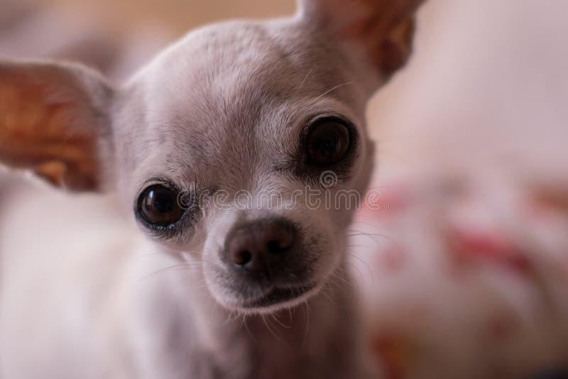 Cane della chihuahua immagine stock