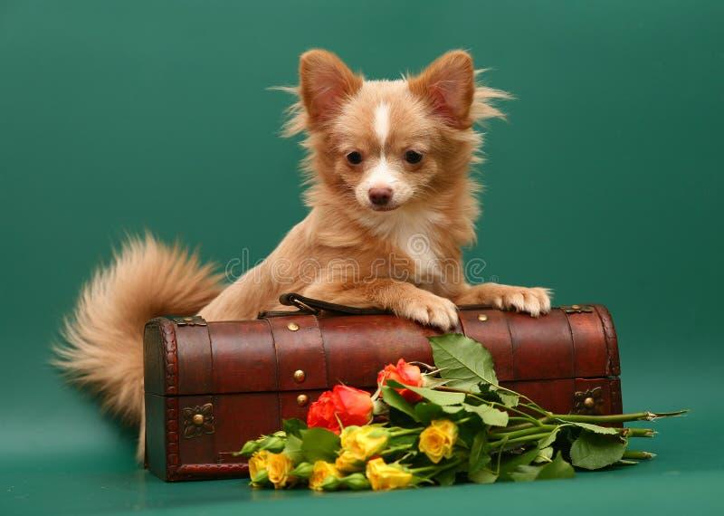 Cane della chihuahua della razza. fotografia stock libera da diritti