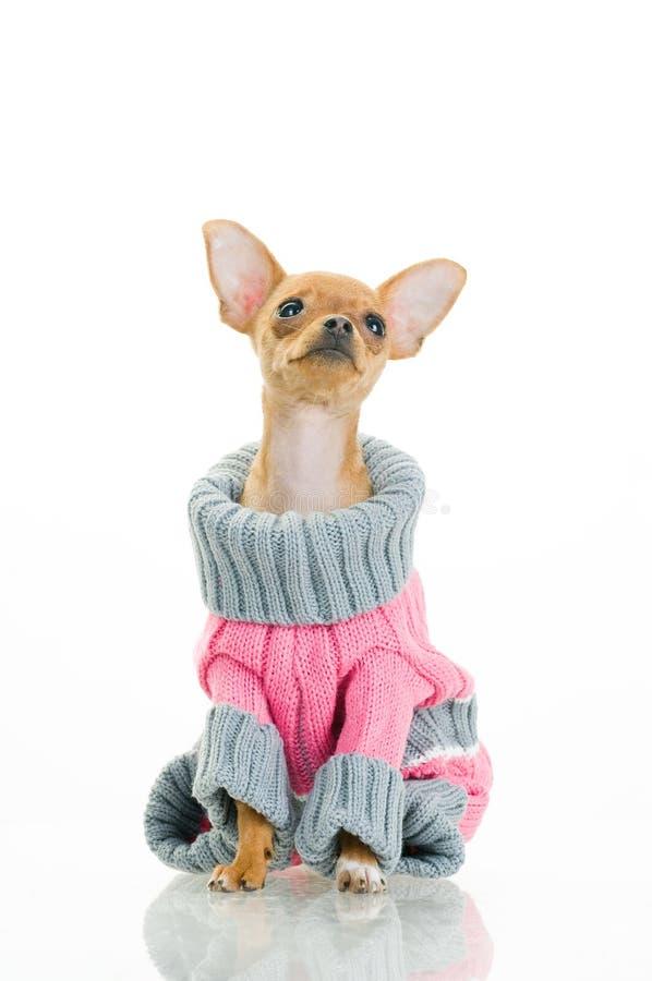 Cane della chihuahua in maglione immagini stock libere da diritti