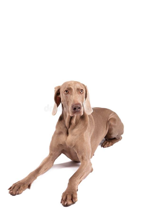 Cane della femmina di Weimaraner fotografia stock