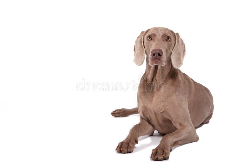 Cane della femmina di Weimaraner fotografia stock libera da diritti