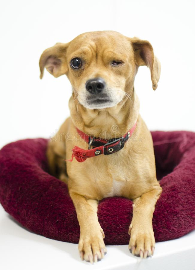 Cane della miscela della chihuahua che manca un occhio, fotografia di adozione del riparo animale immagini stock