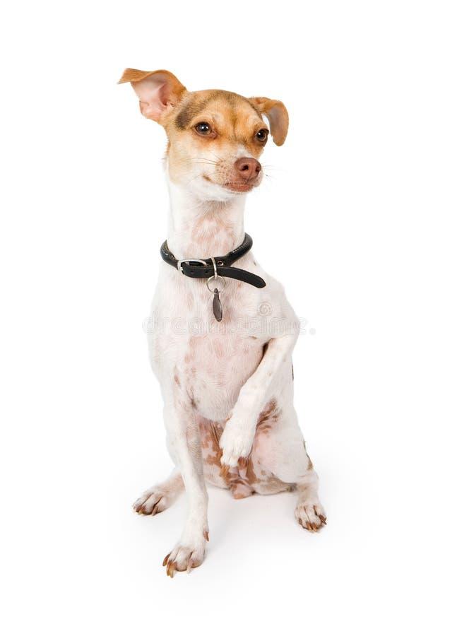 Cane della miscela del levriero italiano isolato su bianco fotografia stock