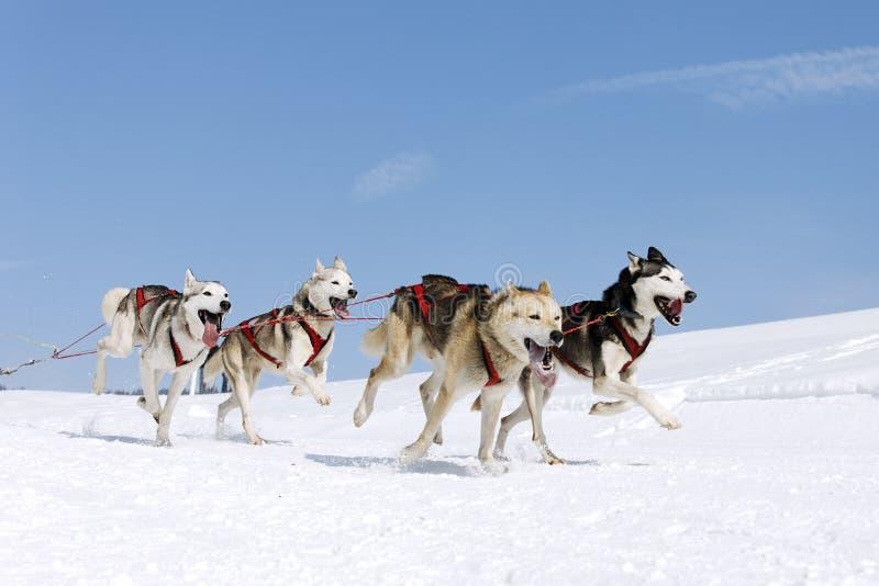 Cane della neve immagini stock