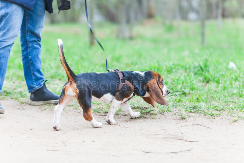 Cane della passeggiata su un guinzaglio nel parco immagini stock libere da diritti