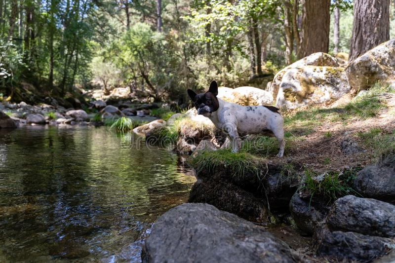 Cane della razza del bulldog francese, in bianco e nero fotografie stock libere da diritti