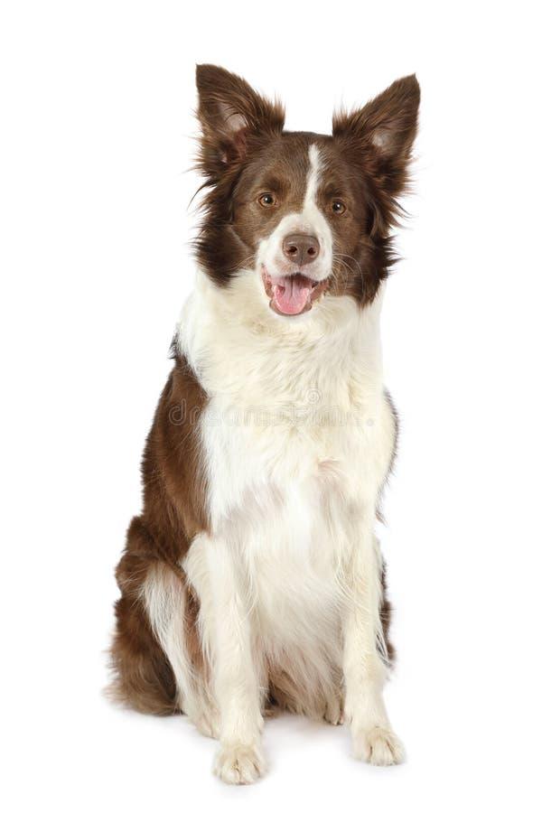 Cane della razza del confine delle collie isolato su fondo bianco immagini stock libere da diritti