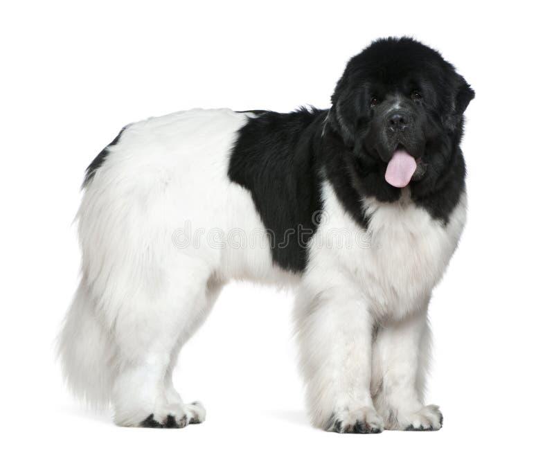 Cane della Terranova, 16 mesi, levantesi in piedi immagini stock