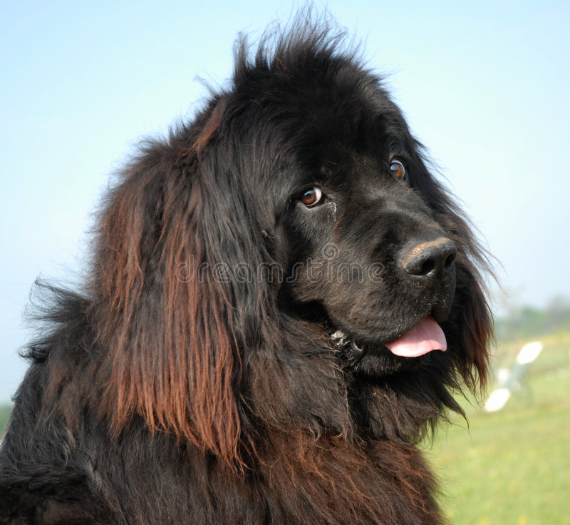 Cane della Terranova fotografia stock