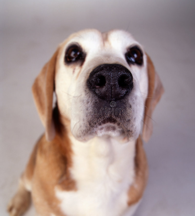 Cane della ventosa del cane da lepre immagine stock libera da diritti