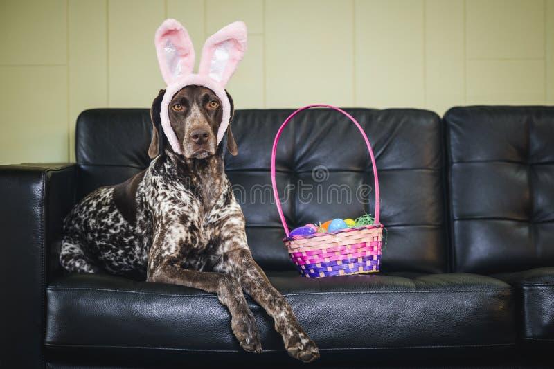 Cane delle orecchie del coniglietto fotografie stock libere da diritti