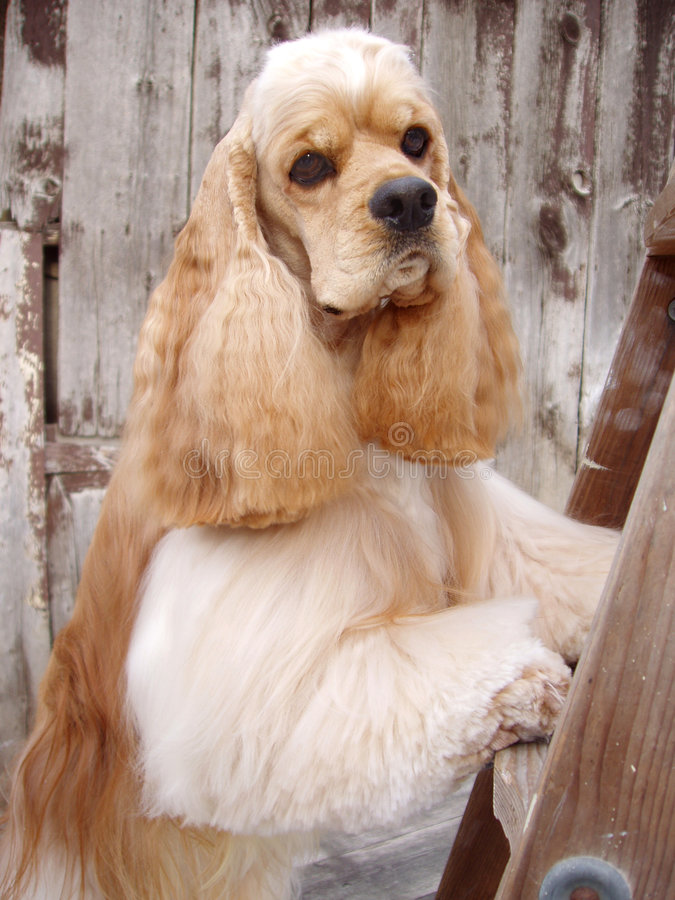 Cane dello spaniel di Cocker immagine stock
