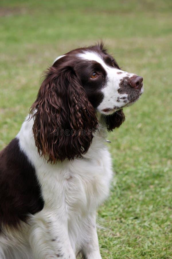 Cane dello Spaniel di imposta della volta inglese fotografie stock