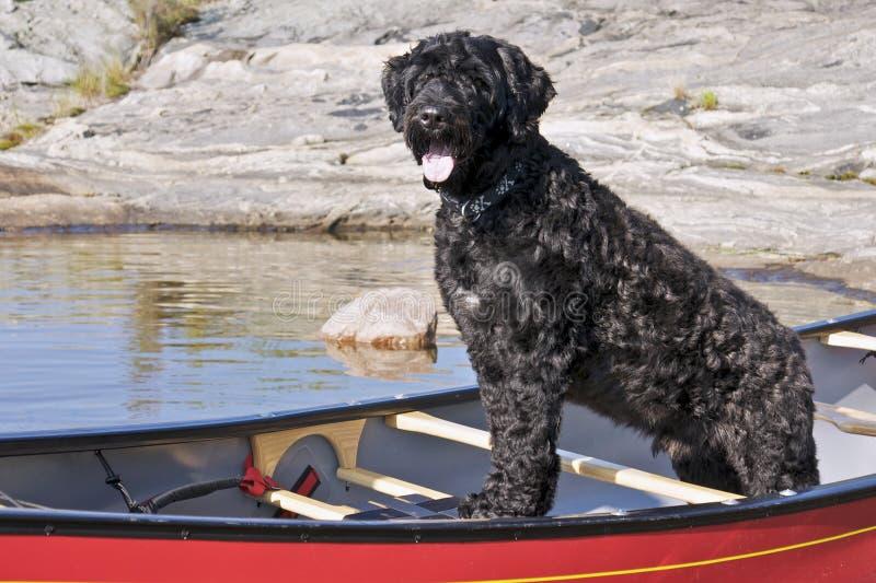 Cane di acqua portoghese fotografie stock libere da diritti