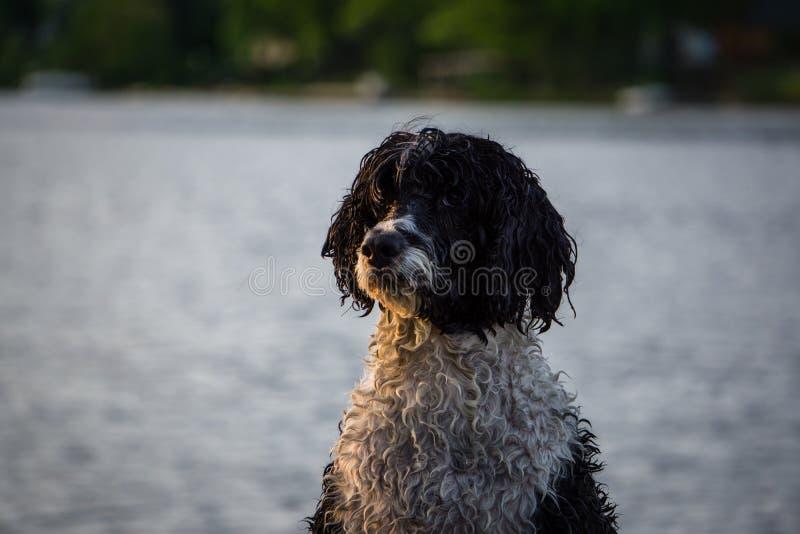 Cane di acqua portoghese immagine stock libera da diritti