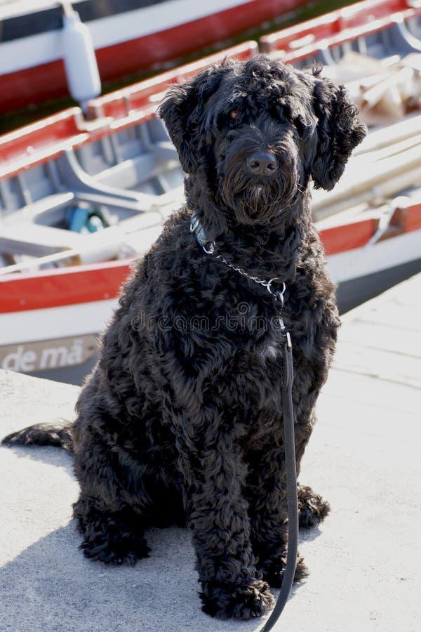 Cane di acqua portoghese in Boats immagini stock