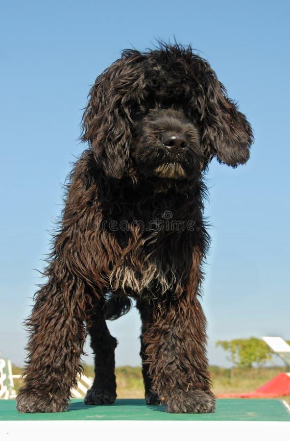 Cane di acqua portoghese del cucciolo fotografie stock libere da diritti