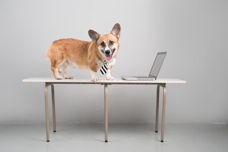 Cane di animale domestico astuto di concetto di affari facendo uso del computer portatile fotografia stock