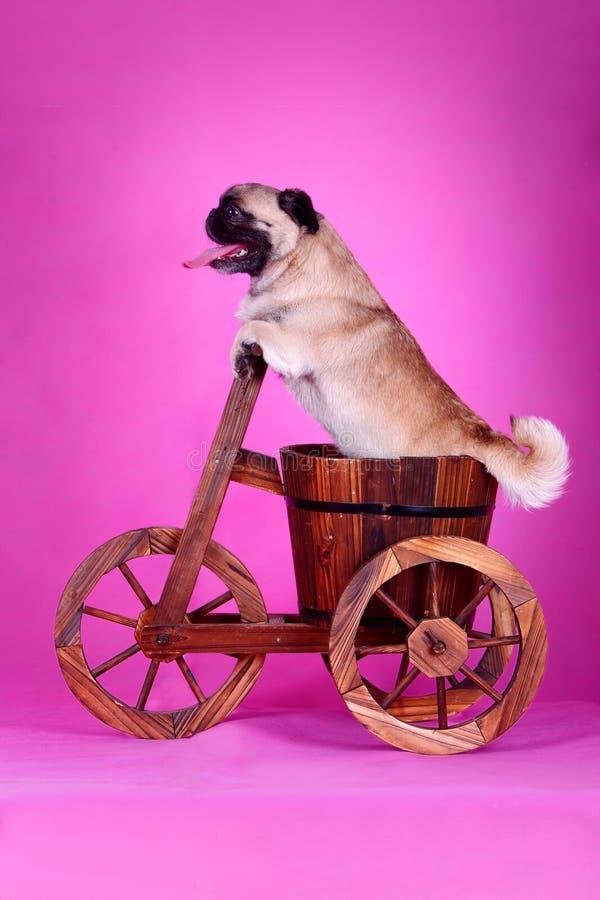 Cane di animale domestico divertente immagini stock