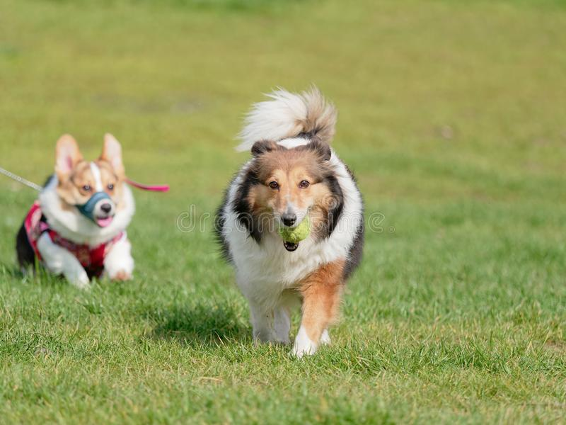 Cane di animale domestico felice che gioca con la palla sul prato inglese dell'erba verde, cane pastore di Shetland allegro che r immagini stock libere da diritti
