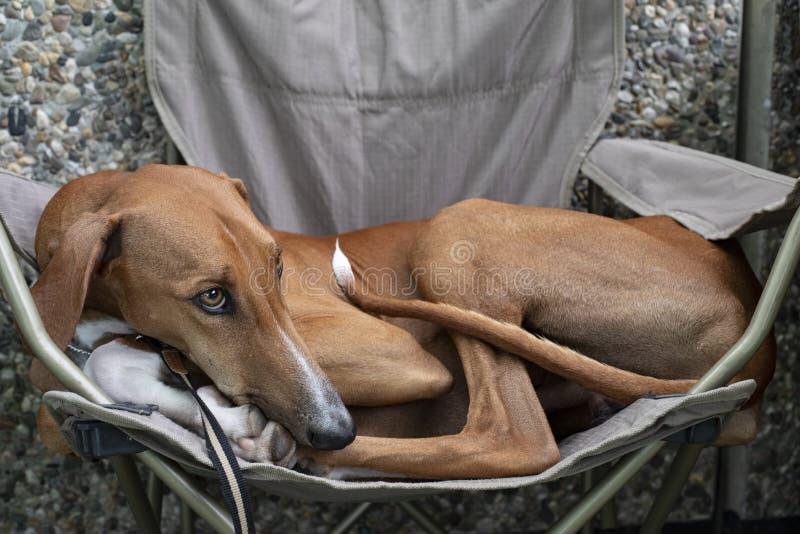 Cane di Azawakh Sahara che risiede in una sedia di campeggio immagini stock libere da diritti