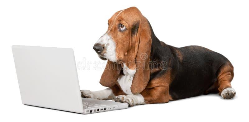 Cane di Basset Hound con il computer portatile su fondo immagini stock libere da diritti