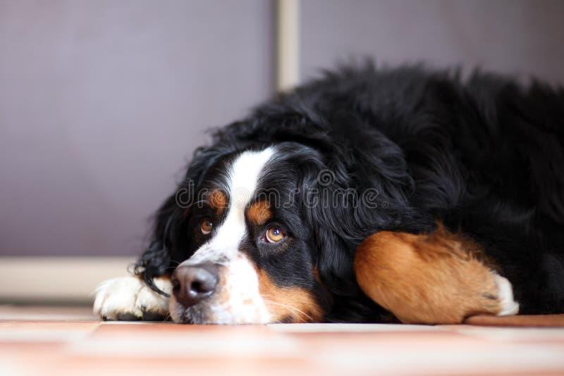 Cane di Berner Sennenhund fotografie stock