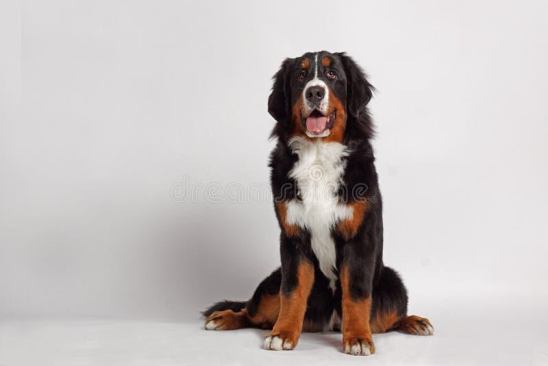 Cane di Berner Sennenhund fotografia stock libera da diritti