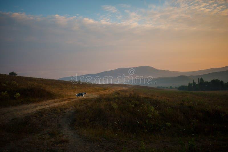 Cane di border collie che cammina nel campo e negli sguardi al tramonto in montagne immagine stock