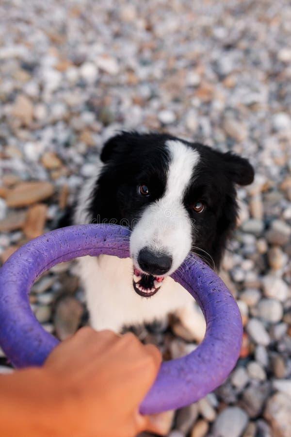 Cane di border collie che gioca conflitto con il suo proprietario sul prato inglese del parco fotografie stock