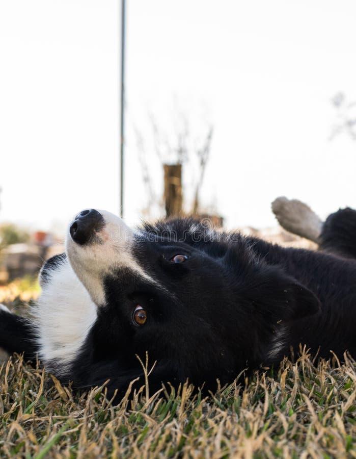 Cane di border collie che riposa sull'erba e che guarda alla macchina fotografica fotografie stock
