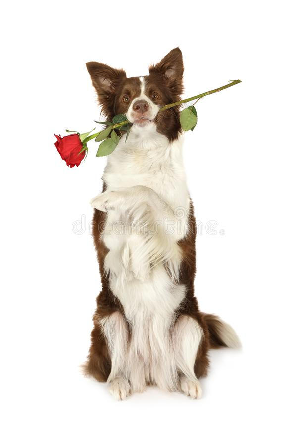 Cane di border collie che si siede su sulle sue gambe posteriori con la rosa rossa nella h fotografia stock libera da diritti