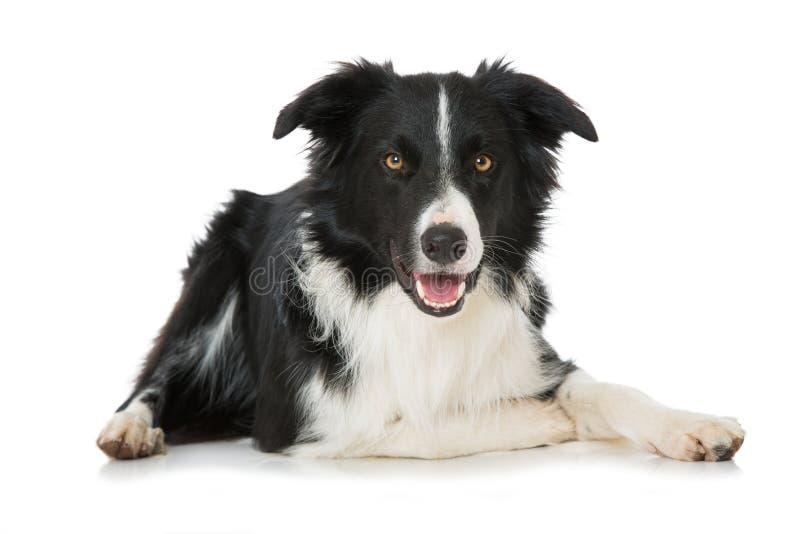 Cane di border collie che si trova sul fondo bianco fotografia stock