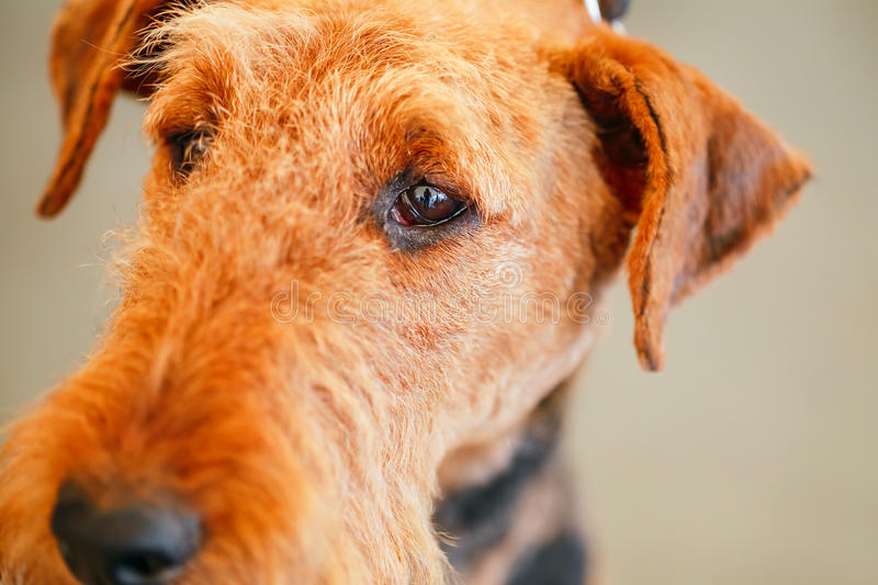 Cane di Brown Airedale Terrier immagini stock