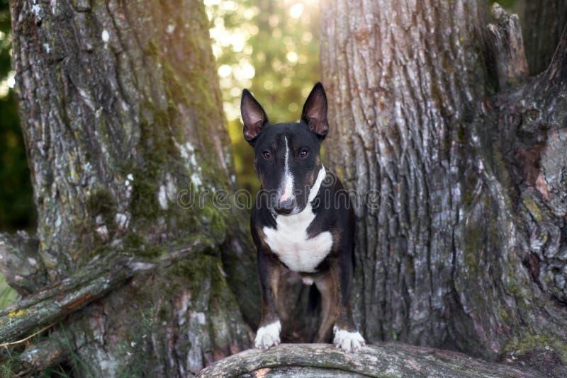 Cane di bull terrier di inglese che sta all'aperto fotografia stock