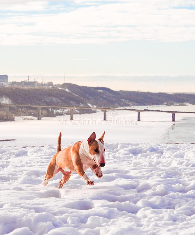 Cane di Bullterrier nel parco di inverno fotografia stock