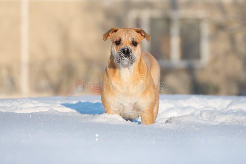 Cane di Ca de bou che sta all'aperto nell'inverno fotografia stock libera da diritti