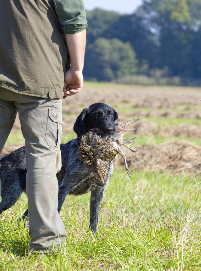 Cane di caccia fotografie stock libere da diritti
