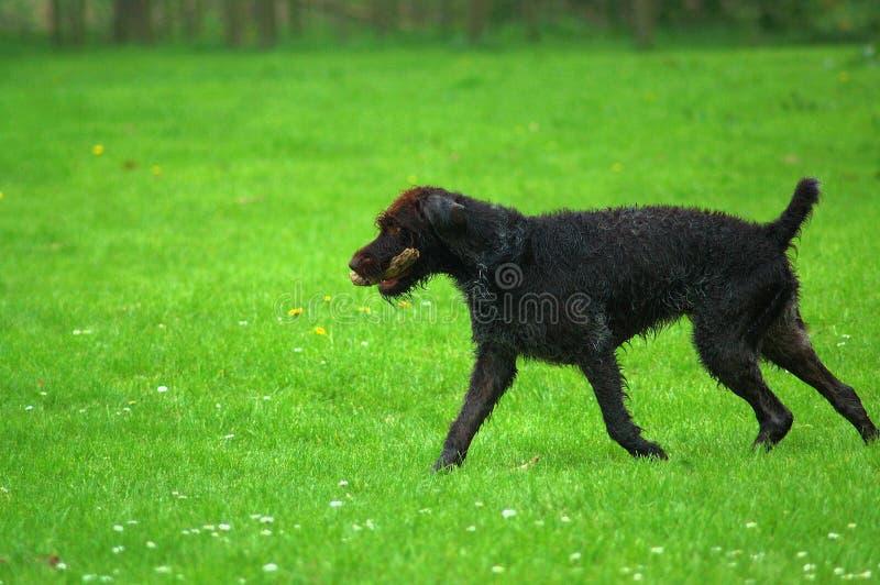 Download Cane di caccia fotografia stock. Immagine di gioco, verde - 7323096