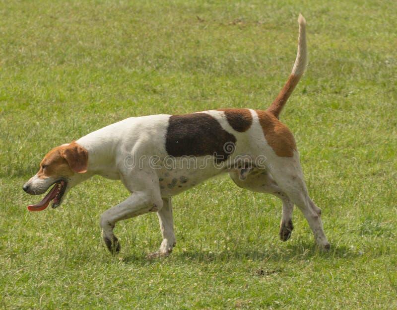 Cane di caccia inglese dell'indicatore fotografia stock libera da diritti