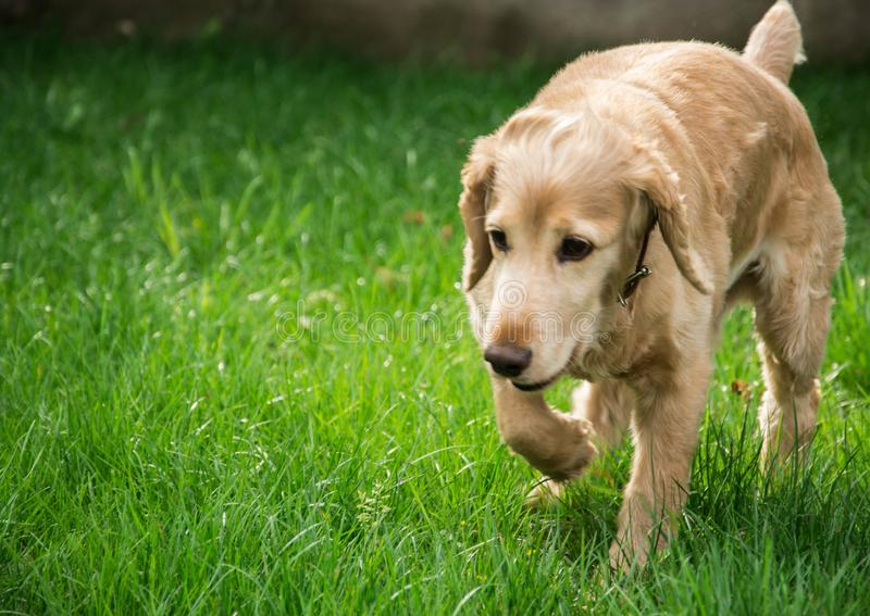 Cane di camminata fotografie stock