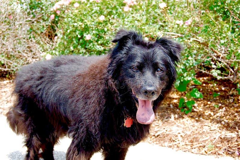 Cane di camminata con la sua lingua fuori un giorno di estate fotografie stock