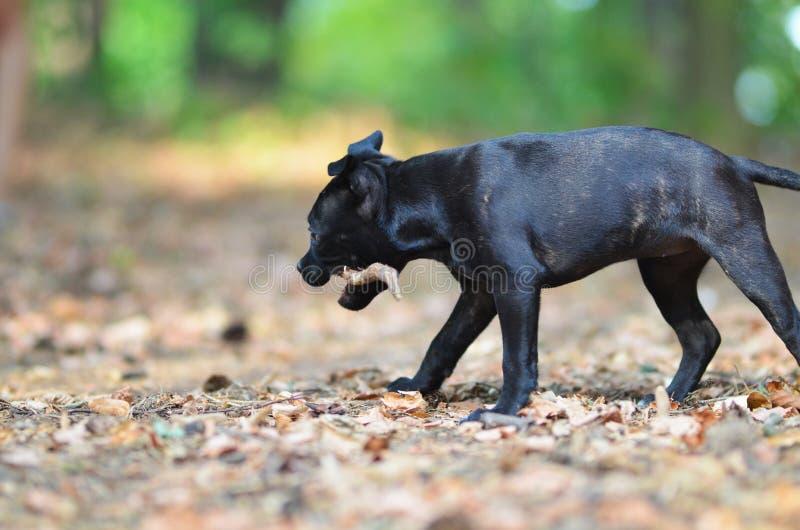 Cane di camminata di Staffordshire bull terrier con il bastone immagine stock libera da diritti