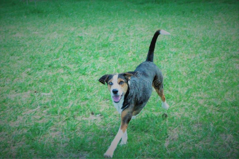 Cane di Catahoula immagine stock libera da diritti