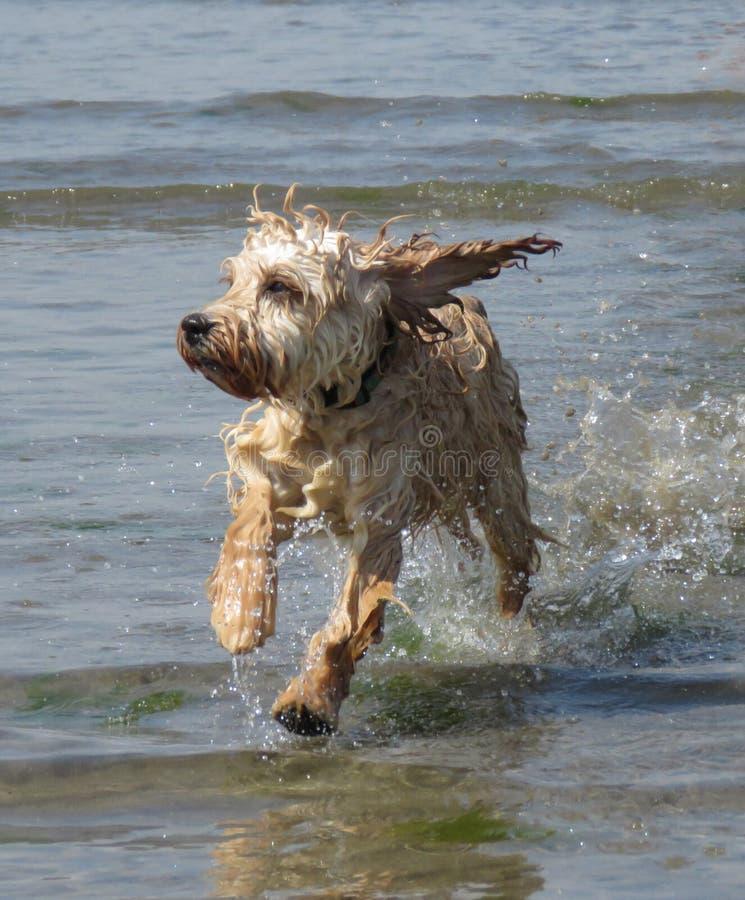 Cane di Cockapoo che passa mare alla spiaggia della Cornovaglia fotografia stock libera da diritti
